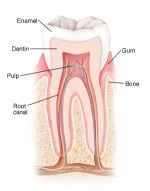 Illustration of a human tooth